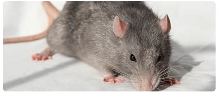 Prevent Spreading Rat And Mice Populations From Invading Your Home